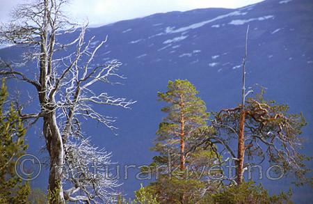 bb031 / Pinus sylvestris / Furu