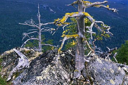 bb036 / Letharia vulpina / Ulvelav <br /> Pinus sylvestris / Furu