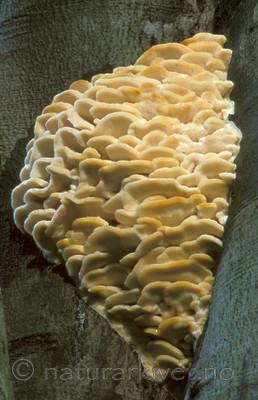 bb047 / Climacodon septentrionalis / Trappepiggsopp