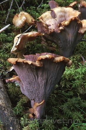 bb049 / Gomphus clavatus / Fiolgubbe