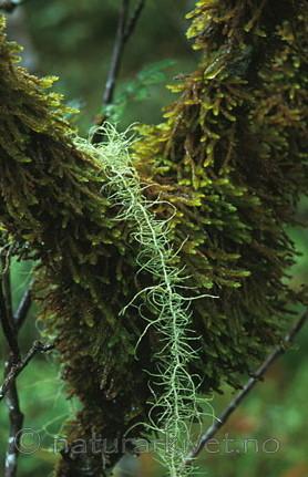 bb060 / Usnea longissima / Huldrestry