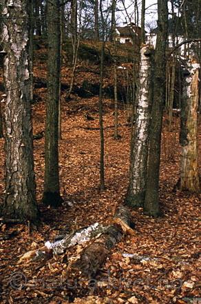 bb088 / Betula pubescens / Bjørk