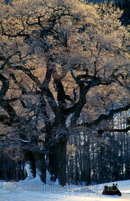 bb089 / Alces alces / Elg <br /> Quercus robur / Sommereik