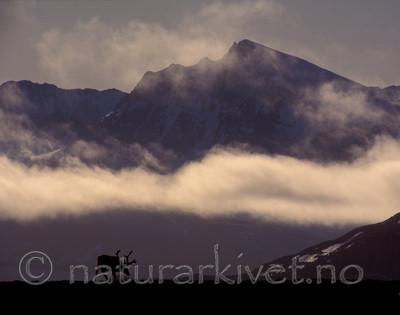 bb118 / Rangifer tarandus / Rein <br /> Rangifer tarandus platyrhynchus / Svalbardrein