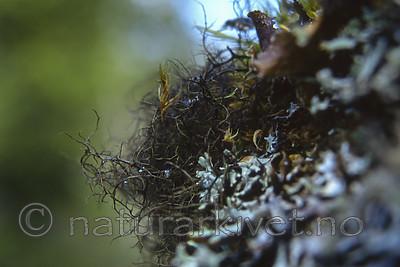bb179 / Bryoria bicolor / Kort trollskjegg