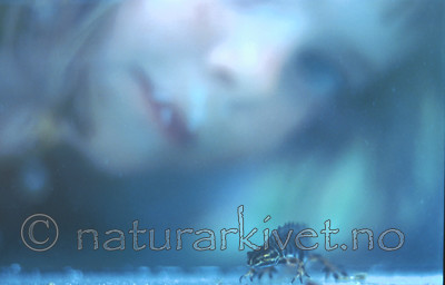 bb238 / Lissotriton vulgaris / Småsalamander