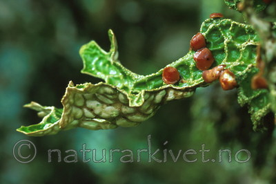 bb285 / Lobaria pulmonaria / Lungenever
