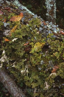 bb286 / Lobaria pulmonaria / Lungenever <br /> Lobaria scrobiculata / Skrubbenever