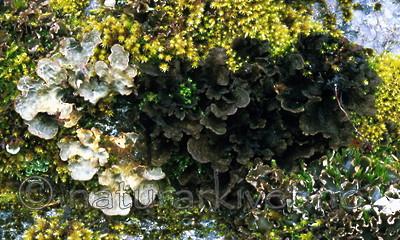 bb291 / Lobaria scrobiculata / Skrubbenever <br /> Sticta fuliginosa / Rund porelav