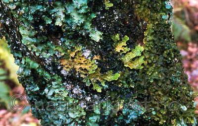 bb306 / Lobaria amplissima / Sølvnever <br /> Lobaria virens / Kystnever