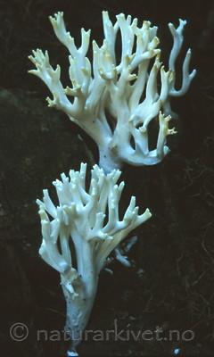 bb355 / Ramariopsis kunzei / Hvit småfingersopp