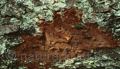 bb386 / Phellinus ferrugineofuscus / Granrustkjuke