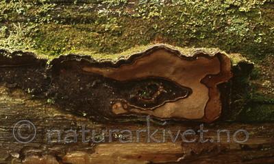 bb387 / Phellinus nigrolimitatus / Svartsonekjuke