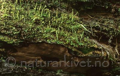 bb388 / Phellinus nigrolimitatus / Svartsonekjuke