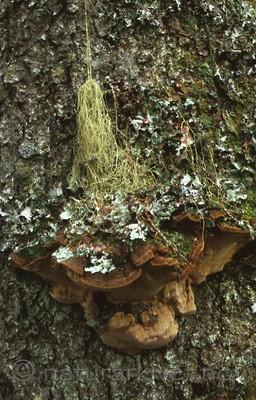 bb392 / Phellinus chrysoloma / Granstokkjuke