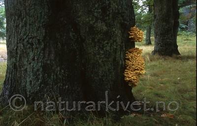 bb416 / Laetiporus sulphureus / Svovelkjuke