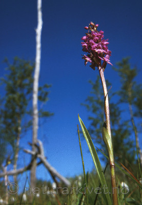 bb442 / Gymnadenia conopsea / Brudespore