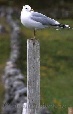 bb461 / Larus canus / Fiskemåke