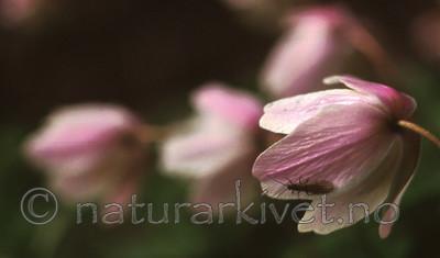 bb502 / Anemone nemorosa / Hvitveis