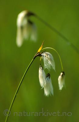 bb530 / Eriophorum latifolium / Breimyrull