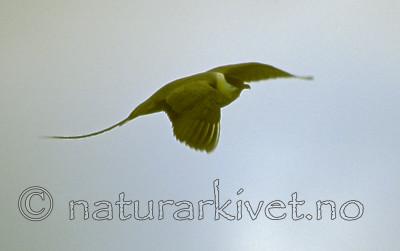bb537 / Stercorarius longicaudus / Fjelljo