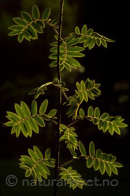 bb582 / Sorbus aucuparia / Rogn
