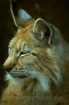 bb602 / Lynx lynx / Gaupe