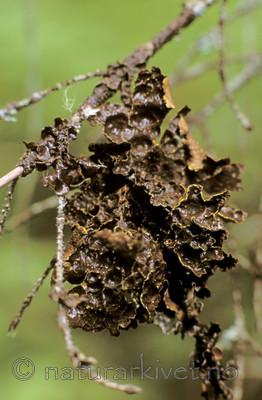 bb637 / Pseudocyphellaria crocata / Gullprikklav