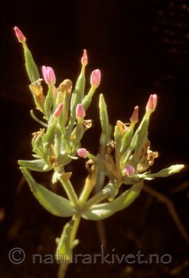 bb640 / Centaurium pulchellum / Dverggylden