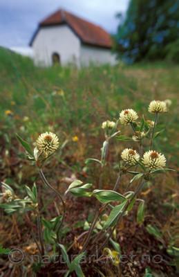 bb645 / Trifolium montanum / Bakkekløver