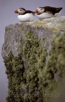 bb692 / Fratercula arctica / Lunde