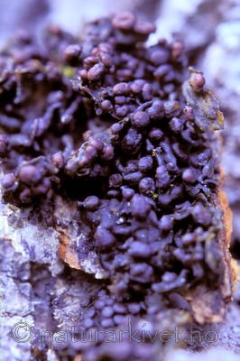 bb702 / Collema curtisporum / Småblæreglye