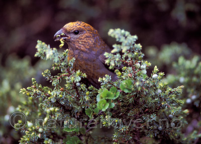 bb711 / Juniperus communis / Einer <br /> Pinicola enucleator / Konglebit
