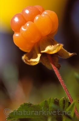 bb719 / Rubus chamaemorus / Molte
