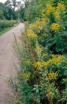 bb806 / Artemisia vulgaris / Burot <br /> Bunias orientalis / Russekål <br /> Solidago canadensis / Kanadagullris