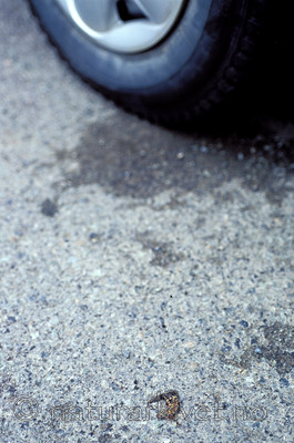 scansig_2012_6 / Lissotriton vulgaris / Småsalamander