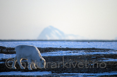 svalbard994 / Rangifer tarandus platyrhynchus / Svalbardrein